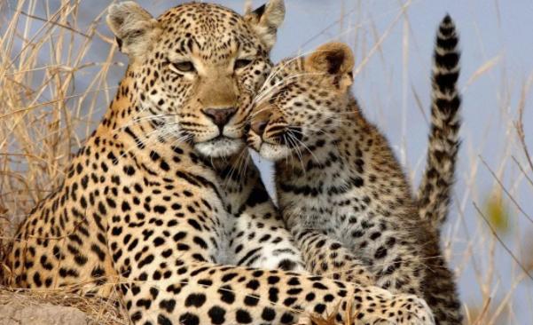 Интересные факты о леопарде для детей