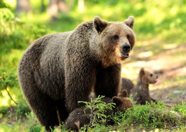 Интересные факты о Буром Медведе для детей