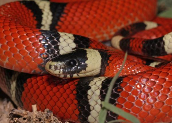 Интересные факты о Молочной Змее