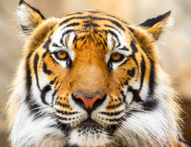 Интересные факты о тигре