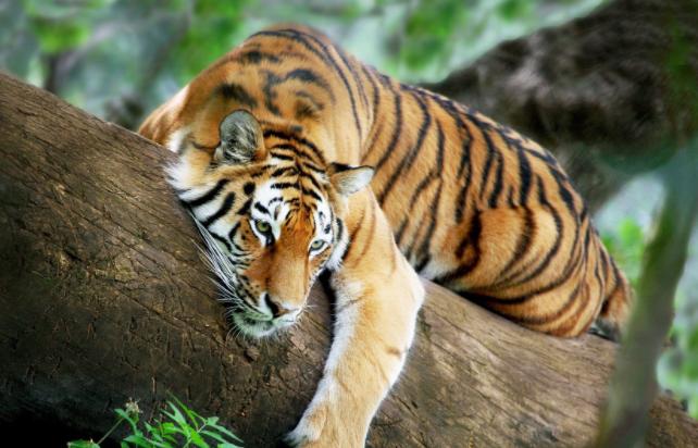 тигры умею зализать на дерево