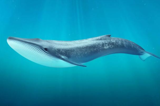 Какой максимальный вес синего кита