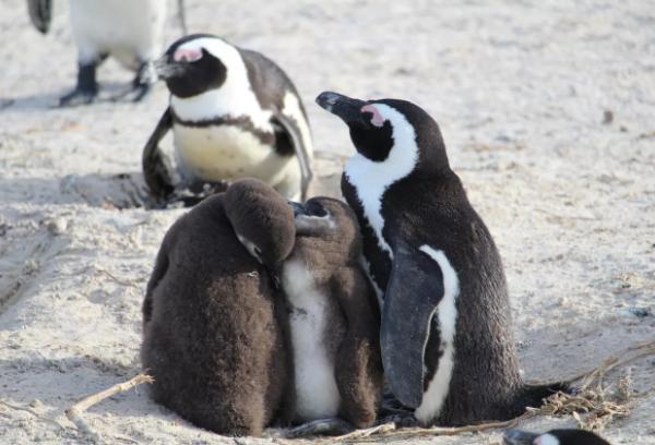 Все о Африканских пингвинах детям