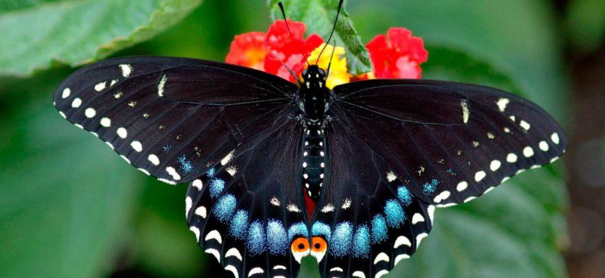 Черная бабочка